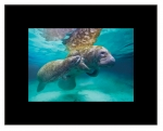 Manatee Love (Large)