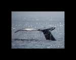 WHALE FLUKE HAWAII