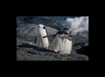 Little Chinstrap Penguins