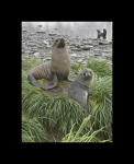 Antarctica's Fur Seals