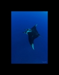Giant Manta Below